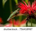 female ruby throated hummingbird | Shutterstock . vector #756418987