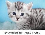 Stock photo cute kitten tabby color kitten on a white blue background 756747253