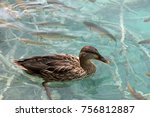 duck and fish swimming in and... | Shutterstock . vector #756812887