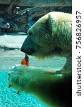 Small photo of San Diego, CA, USA September 22, 2009 A Polar Bear Munches on His carrot Snacks while floating in a tank meant to represent the Arctic