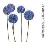 Small photo of Blue Allium caesium on a white background isolated