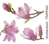 Beautiful Magnolia Isolated On...