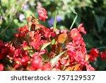 red wax begonia flower | Shutterstock . vector #757129537