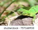 neotropical green anole  anolis ... | Shutterstock . vector #757168933