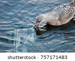 a juvenile gull pecking at a... | Shutterstock . vector #757171483