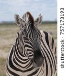 namibia. grevyi zebra. close up. | Shutterstock . vector #757173193