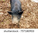 black pig enjoying the mud farm ... | Shutterstock . vector #757180903