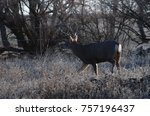 rutting mule deer buck smelling ... | Shutterstock . vector #757196437