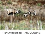 three mule deer bucks in rutte... | Shutterstock . vector #757200043