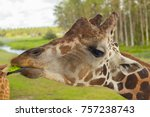the head of a giraffe  eat.  | Shutterstock . vector #757238743