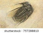 complete pyritised leonaspis ... | Shutterstock . vector #757288813