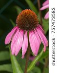 Small photo of coneflower with it's acanthous calyx