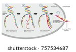 double stranded dna is copied... | Shutterstock . vector #757534687