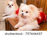 purebred pomenarian dogs... | Shutterstock . vector #757646437
