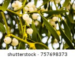 mistletoe with white berries.... | Shutterstock . vector #757698373