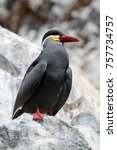 Small photo of Inca Tern perched on rocks, Ballestas Islands, Peru