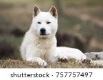 portrait of a korean jindo dog. ... | Shutterstock . vector #757757497