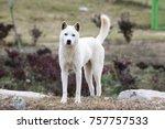 portrait of a korean jindo dog. ... | Shutterstock . vector #757757533