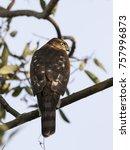 Eurasian Sparrowhawk Sitting O...