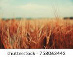 Wheat. Golden Ears Of Wheat On...