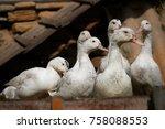 close up of ducks on field   Shutterstock . vector #758088553