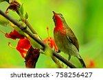 crimson sunbird  on branch | Shutterstock . vector #758256427