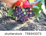 bunch of grapes protected by... | Shutterstock . vector #758343373