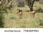 pride of lions on the hunt.... | Shutterstock . vector #758489983