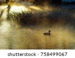 A Mallard Duck Swimming In The...