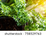 green parsley leaf background.... | Shutterstock . vector #758529763