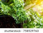green parsley leaf background.... | Shutterstock . vector #758529763