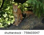 euroasian lynx in the bavarian...   Shutterstock . vector #758603047