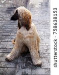 Small photo of Afghan hound sitting on the street