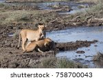 Two Lionesses Drinking At A...