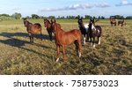 Stock photo photo of group of curious well trained horses looking at drone camera grass meadow with brown 758753023
