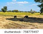 organic rice fields  jasmine... | Shutterstock . vector #758775457