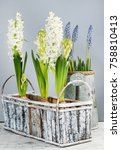 White Hyacinths And Muscari...