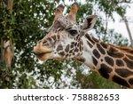 Giraffe Sticking Tongue Out