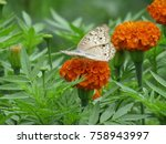 Stock photo marigold flowers and butterfly isolated marigold flowers and butterfly 758943997