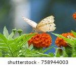 Stock photo butterfly in flower to marigold isolated 758944003