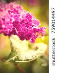 blooming lilac  close up.... | Shutterstock . vector #759014497