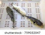 takifugu rubripes in a... | Shutterstock . vector #759032047