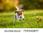 Stock photo dog breed jack russell terrier playing in autumn park 759040897