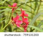 nerium oleander  la adelfa pink ...   Shutterstock . vector #759131203