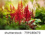 Colorful Blooming Astilbe In...
