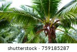 coconut tree  coconut leaves.... | Shutterstock . vector #759185287