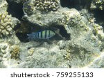 Small photo of One fish sergeant in coral. Abudefduf saxatilis