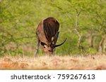 sambar deer  rusa unicolor ... | Shutterstock . vector #759267613