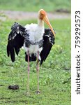 painted stork with open wings...   Shutterstock . vector #759292573