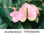 Original Pink Anthurium Flower...